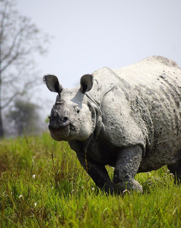 1024px-One_horn_rhinoceros_at_Kaziranga_national_park