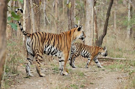 Achankmar_Tiger