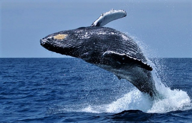 whale watching at Hermanus, Western Cape, South Africa